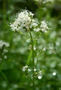 Herbal remedies like Valerian have traditionally been used as a remedy for sleep problems but there is a real lack of hard evidence about its use in schizophrenia. (Image: Franz Xaver on Wikimedia Commons)